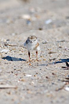 Piping Plover Chick On Beach