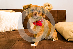 Dog with scarf posing on couch