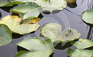 Frog on Lily Pad and Pond Water, Nature, Wildlife