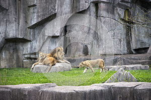 Male Lion, Lioness, Cub Wildlife, Modern Zoo Cage