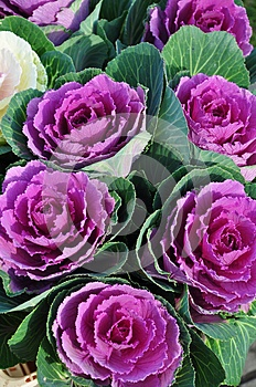Cabbage flowers