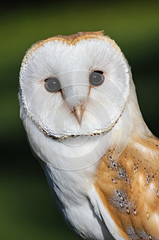 Barn Owl or Common Barn Owl