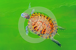 Turtle in green pond