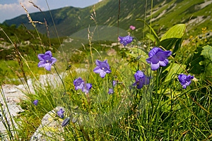 Blue Flowers In The Mountains