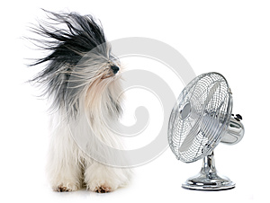 Tibetan terrier and fan
