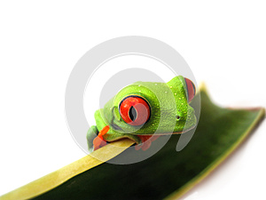 Red eyed tree frog (88), agalychnis callidryas