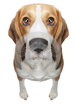 Isolated Beagle dog