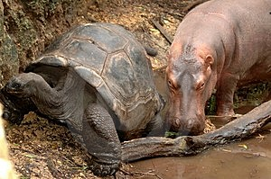 Hippo and Giant Tortoise