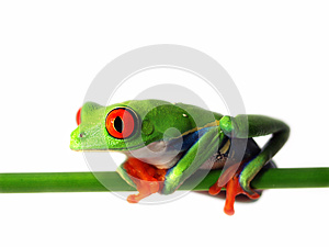 Red-eyed tree frog (126), agalychnis callidryas