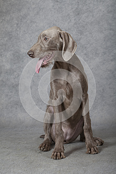 Wirehaired Slovakian pointer dog, 5 months old
