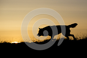 Silhouetted wolf hunting at sunrise