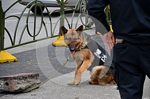 Chinese trained police dog from canine unit Shanghai China