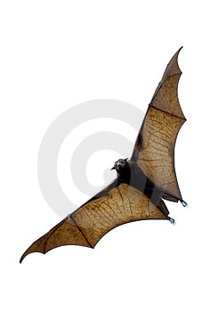 Flying fox enorme pipistrello.