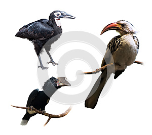 Set of hornbills (Bucerotidae)