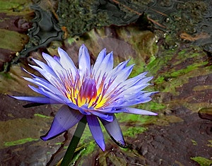 Blue waterlily in pond