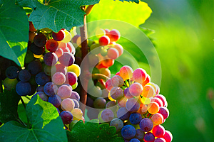 Ripening Blue Wine Grapes