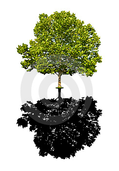 Maple tree isolated