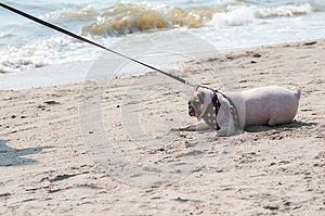 Close-up cute dog pug fear and afraid water sea beach when people try to pull pug to play swim on sand