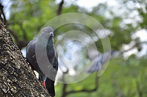 PORTRAIT TO PIGEON IN THE NATURE