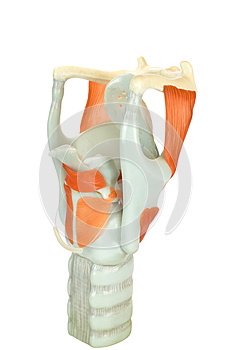 Model of human larynx or voive box with vocal cords