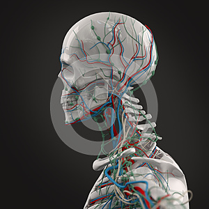 human anatomy porcelain skeleton side view with veins on dark background.