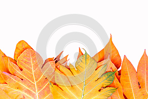 Yellow leaves autumn leaf over isolation background