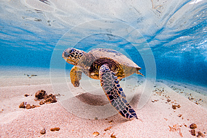 Hawaiian Green Sea Turtle