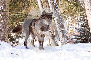 Black timber wolf at alert in snow