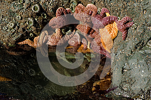Starfish Clinging to Rock in Tidal Pool