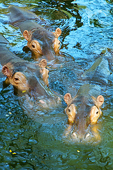 Three hippos in water