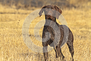 Hunting dog in front