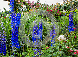 Tall blue Delphinium flowers (Blue Nile)