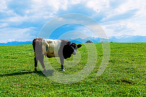 Cow grazing on a beautiful green meadow, with snowy mountains in background.