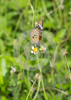 Plain Tiger butterfly (Danaus chrysippus butterfly) on a flower
