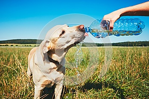 Thirsty dog in hot day