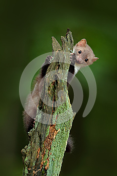 Beech marten, Martes foina, with clear green background. Stone marten, detail portrait of forest animal. Small predator sitting on