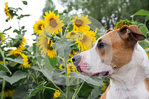A dog posing in front of the sunflowers.