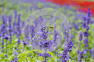 A bee flying to blue Salvia flower (blue sage)