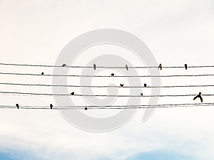 Swallows in electric wire likes musical score or guitar cords