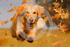 Dog, golden retriever jumping through autumn leaves