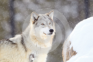 Timber wolf at alert during snow storm