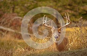 White tail deer staying low during hunting season. 4/5