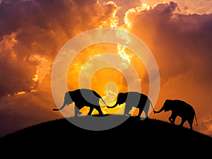Silhouette elephants relationship with trunk hold family tail walking together on sunset