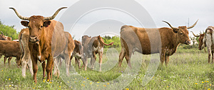 Panoramic photograph of longhorn cattle