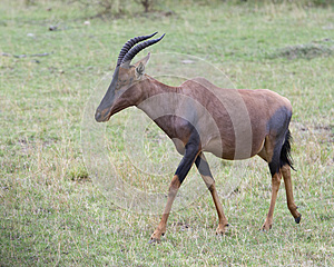 Closeup sideview of a single adult Topi with antlers walking in grass