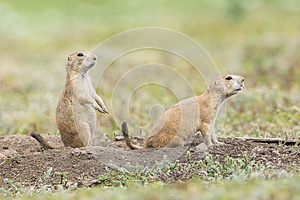 Two prairie dogs on alert