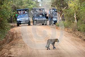 A rare sight as a leopard crosses a dirt road within Yala National Park in Sri Lanka.