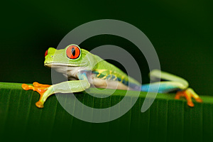 Beautiful exotic animal from central America. Red-eyed Tree Frog, Agalychnis callidryas, animal with big red eyes, in the nature h