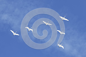 Migrating Tundra Swans Fly in Formation