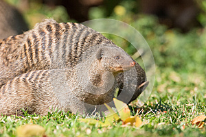 Alert mongoose hunting